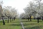 Rozkvetlé stromy v zámeckém parku obr.2