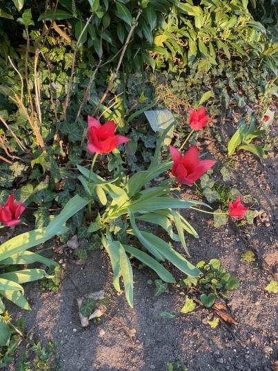Tulipány obr.2